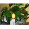 Павловский настоящий  лимон – солнышко на окошке